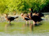 Neotropic Cormorant - 8-19-2012 Ensley - TVA Lake