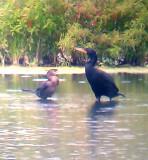 Neotropic Cormorant - 8-21-2012 - immature with adult DC Cormorant