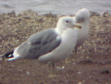 California Gull - Pace Point - Henry Co. TN