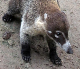 a coati up close 1245