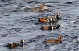 Sea Ducks and buffleheads