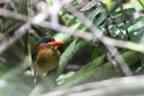 Blue-capped Wood Kingfisher (Actenoides hombroni)