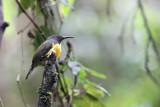 Mount Apo Sunbird (Aethopyga boltoni)