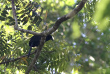 Black-hooded Coucal (Centropus steerii)