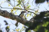 Mindoro Hornbill (Penelopides mindorensis)