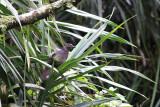 Amethyst Brown Dove (Phapitreron amethystinus)