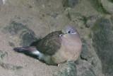 White-eared Brown Dove (Phapitreron leucotis)