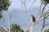 Stripe-breasted Rhabdornis (Rhabdornis inornatus alaris)