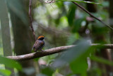 Black-cheeked Gnateater (Conopophaga melanops)