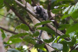 Tufted-ear Marmoset (Callithrix jacchus)