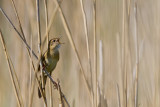 Common Grasshopper Warbler (Locustella naevia)