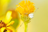 Candystripe Spider (Enoplognatha ovata)