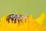 Metal mark moth (Tebenna bjerkandrella)