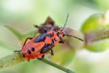 Firebug (Pyrrhocoris apterus)