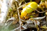 Sulphur beetle (Cteniopus flavus)