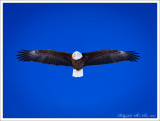 A Bald Eagle taking sight at our sleds on Hebgen Lake