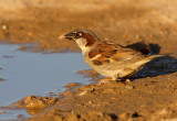 Huismus - House Sparrow