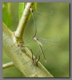 Willow emeralds collective ovipositing