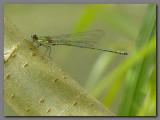 Willow emerald male