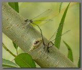 Willow emeralds ovipositing