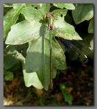 Willow emerald female