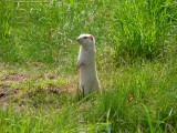 Albino ground squirrel