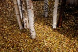 WileyPost_BirchLeaves_06Oct2011_ 005Ab [640x480].JPG