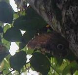 on the walk--a giant owl moth