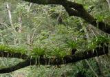 bromeliads on a big tree