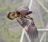 Immature Eagle at Guntersville Dam