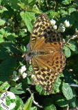 Fritillary Butterfly - slightly in the shade