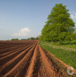 Potato field near Killerton