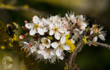 May blossom in Apr