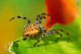 Spider on Nasturiums