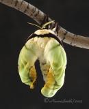 Actias selene - Indian Moon Moth - drying off