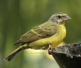 Green Singing Finch MR11 #5315(Captive)