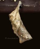 Owl-Caligo sp.Cocoon MR11 #5348