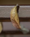 Clipper - Parthenos sylvia chrysalis MR11 #5392