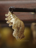 Velvet Rose - Pachliopta kotzebuea - empty chrysalis case MR11 #5375
