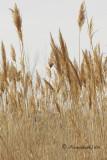 Pampas Grass AP11 #5871