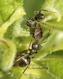Publilia concava tended by ants MY11 #1846