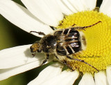 Trichiotinus assimil JN11 #2377
