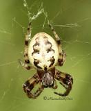 Orbweaver - Larinioides cornutus  JN11  #1304