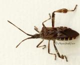 Western Conifer Seed Bug AU11 #6771