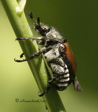 Japanese Beetle - Popilla japonica  JL11 #4568