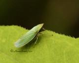 Draeculacephala antica JN11 #1558