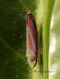 Graphocephala coccinea AU11 #7789