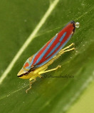 Graphocephala coccinea Leafhopper AU11 #8046