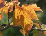 October Maple O11 #9868