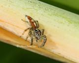 Spider D11 #2172